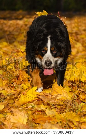 Bernese dog in autumn leaves