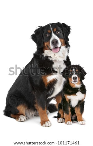 Bernese Mountain dog adult and puppy in front of a white background