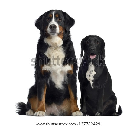 Bernese Mountain Dog and crossbreed between labrador and beagle, 1 year old, sitting, isolated on white