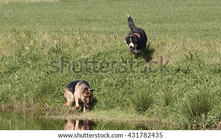 Bernese Mountain Dog and German Shepherd are paying next water. - stock photo