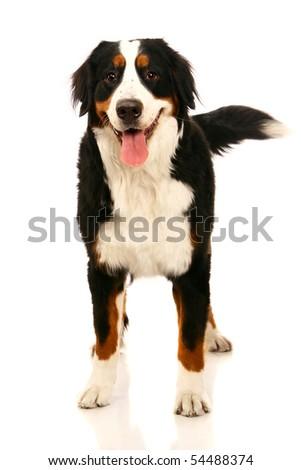 Bernese mountain dog (Berner Sennenhund), on the white background - stock photo