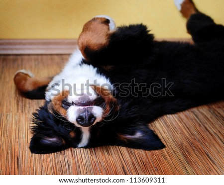 Bernese mountain dog (Berner Sennenhund) puppy in studio - stock photo