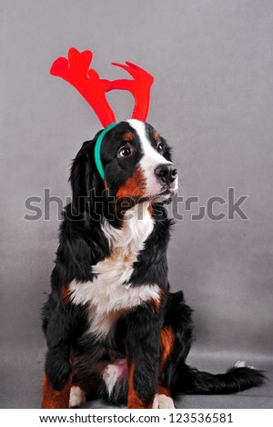 Bernese mountain dog dressed up in reindeer antlers. Christmas dog. - stock photo