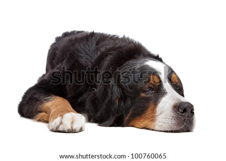 Bernese Mountain Dog in front of a white background - stock photo