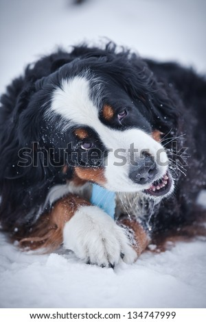 Bernese mountain dog in nature - stock photo