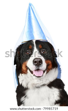 Bernese mountain dog in party cone. Isolated on white background - stock photo