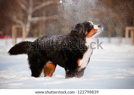 bernese mountain dog in the snow - stock photo