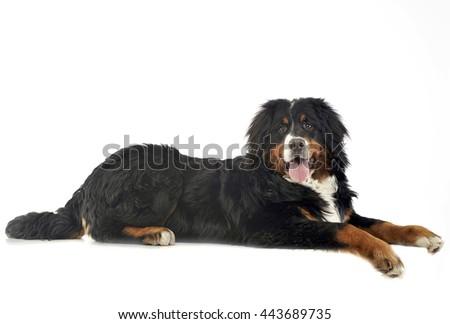 Bernese Mountain Dog in the white photo studio - stock photo