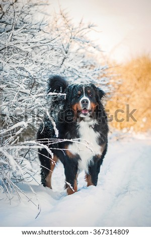 Bernese mountain dog in winter - stock photo