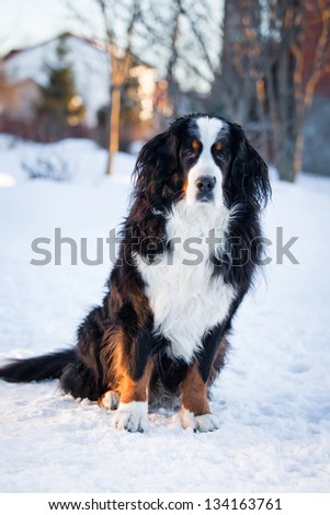 Bernese Mountain Dog in winter In Nature