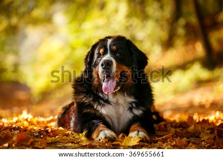 Bernese mountain dog lying in the autumn park - stock photo