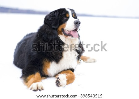 Bernese mountain dog lying in the snow (white background) - stock photo