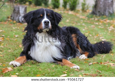 Bernese mountain dog lying on grass during  fall day - stock photo