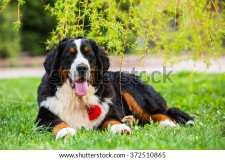 Bernese mountain dog lying under the branches of a weeping willow tree in the park