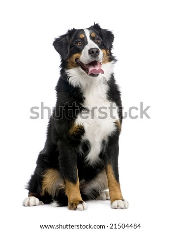 Bernese mountain dog (15 months) in front of a white background