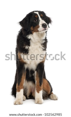 Bernese Mountain Dog, 10 months old, sitting in front of white background