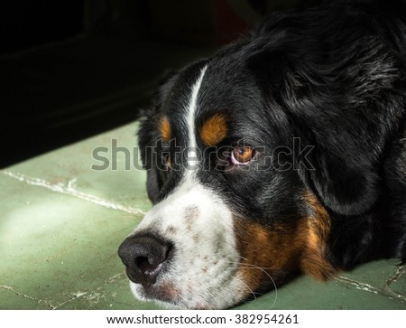 Bernese Mountain Dog on a cold floor with front light - stock photo