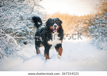 Bernese mountain dog on the walk in winter - stock photo