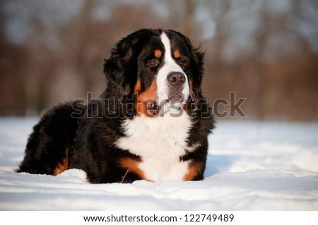bernese mountain dog portrait - stock photo