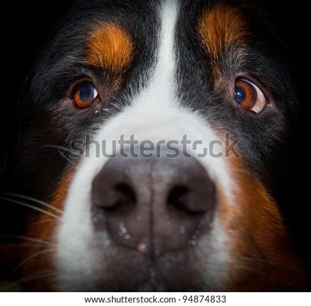 Bernese mountain dog portrait close up - stock photo