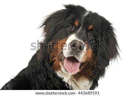 Bernese Mountain Dog portrait in the white photo studio - stock photo