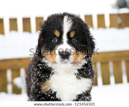 Bernese mountain dog puppet look staightly at camera - stock photo