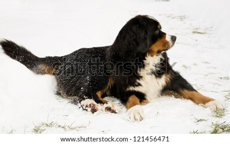 Bernese mountain dog puppet mother worried about puppets - stock photo