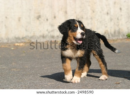 Bernese mountain dog puppy - stock photo