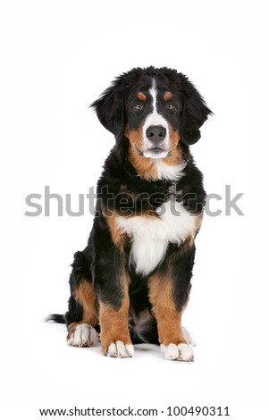 Bernese Mountain Dog puppy in front of a white background - stock photo
