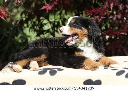 Bernese Mountain Dog puppy on blanket smiling in front of dark red leaves
