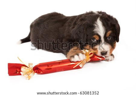 Bernese mountain dog puppy playing with a christmas present - stock photo