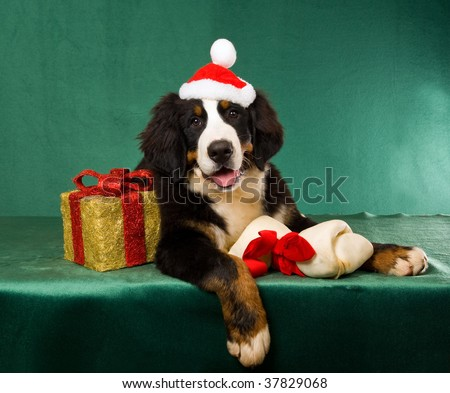 Bernese Mountain Dog puppy with bone and christmas gift, on green background