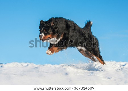 Bernese mountain dog running in winter - stock photo