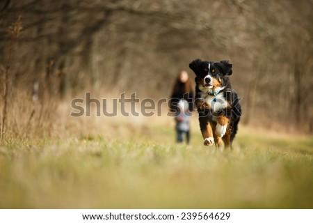 Bernese mountain dog running through the autumn meadow. - stock photo