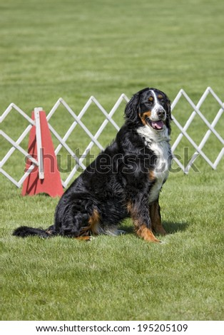 Bernese Mountain Dog sitting in obediance ring at outdoors dog show - stock photo
