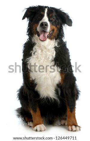bernese mountain dog sitting looking at viewer isolated on white background - stock photo