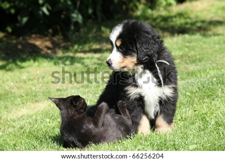 Bernese Mountain Dog with a cat - stock photo