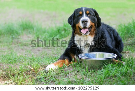 Bernese Mountain Dog with empty bowl - stock photo