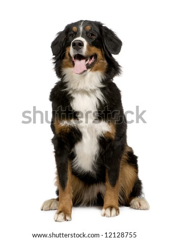 Bernese mountain dog (1 year) in front of a white background - stock photo