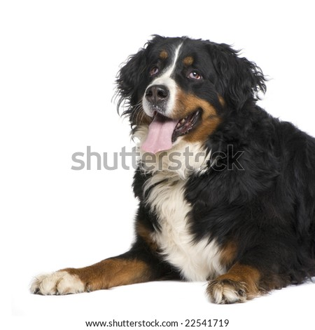 Bernese mountain dog (5 years) in front of a white background