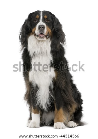 Bernese mountain dog, 3 years old, sitting in front of white background - stock photo