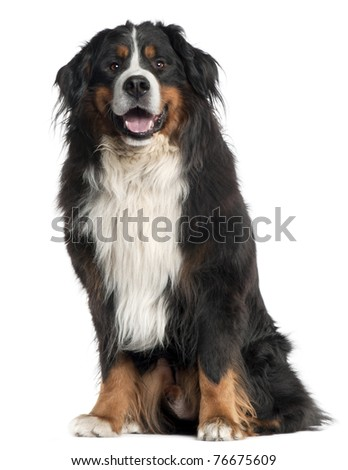 Bernese Mountain Dog, 6 years old, sitting in front of white background - stock photo
