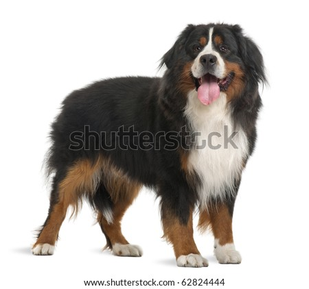 Bernese Mountain Dog, 3 years old, standing in front of white background - stock photo