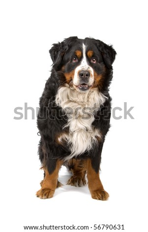 bernese mountain or berner sennenhund dog sitting and looking at camera, isolated on a white background - stock photo