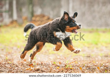 Bernese mountain puppy running in the park in autumn - stock photo
