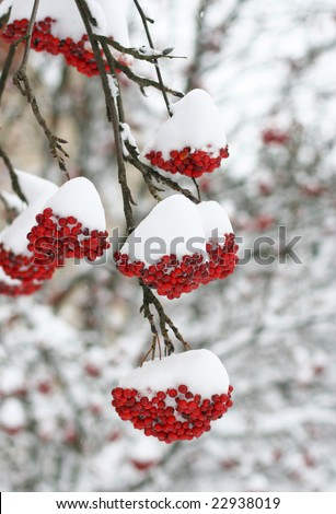 Berries covered in snow - stock photo