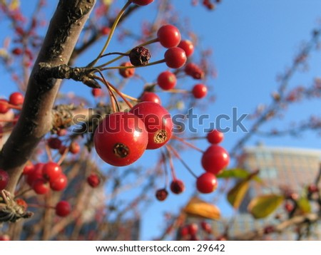 Berries in Battery Park, NYC - stock photo