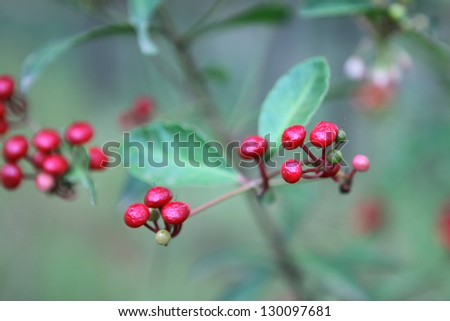 Berries of a ripening ginseng. Vietnam - stock photo