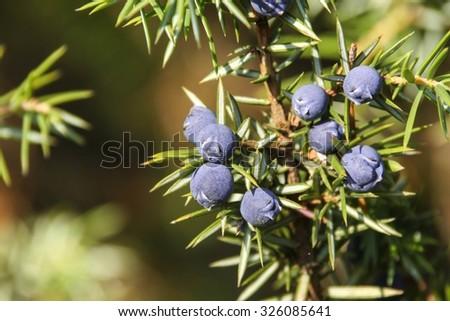 berries of the common juniper - stock photo