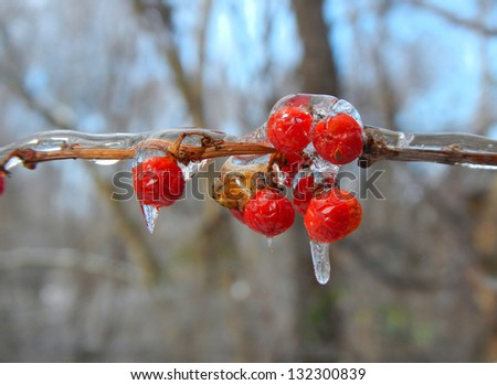 Berries on an icy branch. - stock photo